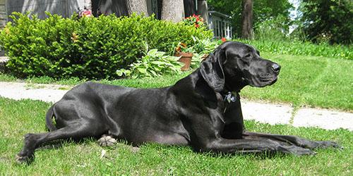видеть во сне большую черную собаку