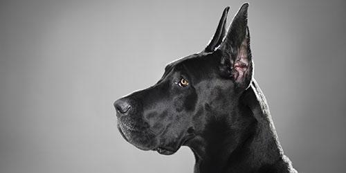 к чему снится женщине большая черная собака