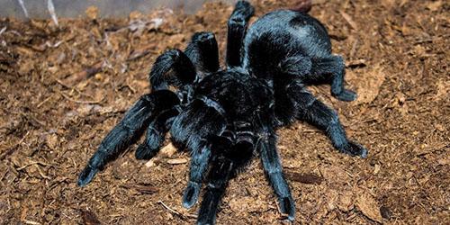 видеть во сне большого черного паука