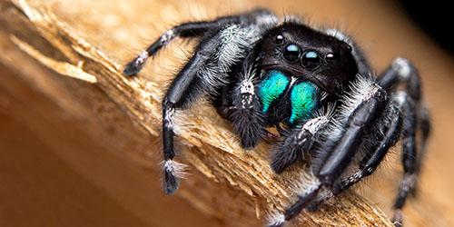 к чему снится мохнатый черный паук