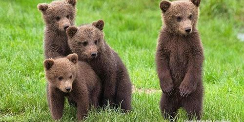 Приснились бурые медвежата