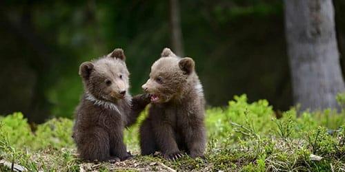 Два медвежонка во сне