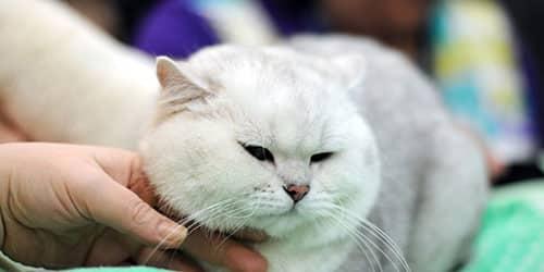 Гладить во сне белого кота